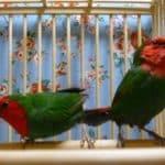 ヒノマルチョウ(日の丸鳥)