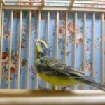 セイオウチョウ(青黄鳥)