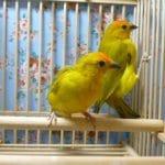 文鳥、十姉妹、キンカ鳥、カナリアなどの飼育