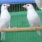 白文鳥 ペア