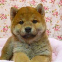 柴犬 女の子 2019年2月15日生まれ