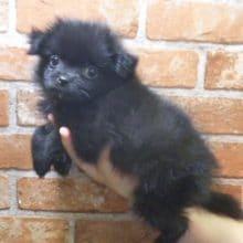 小熊?珍しいミックス犬(パグ × 狆)将来が楽しみな子です!