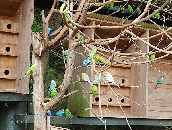 屋外飼育のセキセイインコの群れ