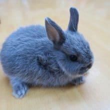 ミニウサギ(ブルー系)アンゴラのような毛並み