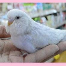 ジャンボセキセイインコ(バイオレットスパングル)綺麗な子です!