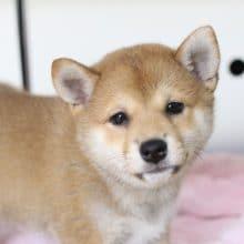 ムチムチでかわいい柴犬の女の子!