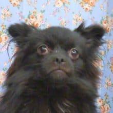 珍しいミックス犬(パグ × 狆) 2019年11月10日撮影