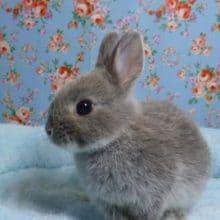 ミニウサギ グレーカラー 男の子 2019年5月生まれ
