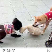 柴犬VSパグX狆 おもちゃの取り合い動画