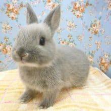 ミニウサギ グレー 女の子 9月5日