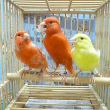 文鳥、十姉妹、キンカ鳥、カナリアなどの飼い方