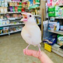きれいな羽が生えました!シナモン文鳥さん