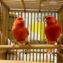 きれいな色の赤カナリアさん入舎です!