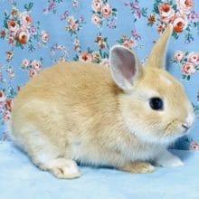 ミニウサギ オレンジ 2019年9月下旬生まれ