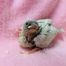 羽根が美しいシルバー文鳥さんがきましたよ!