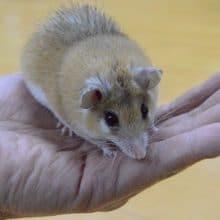 カイロトゲマウス とんがった顔が可愛い!!