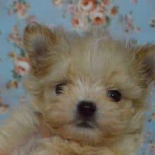 MIX犬(マルチーズ×チワワ)男の子入舎しました。