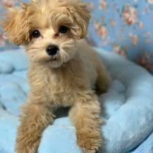 すくすく成長中!MIX犬マルプー!2019年12月