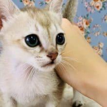 世界最小の猫ちゃん!シンガプーラが入舎です!
