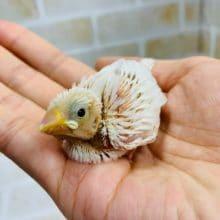 人気色の白文鳥さんが入舎です!