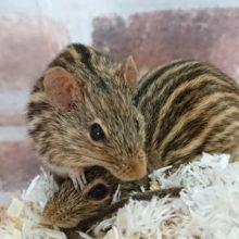 シマクサマウスという、うり坊みたいなネズミさん♪