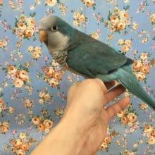手のりオキナインコ(ブルー)2017年6月生まれ