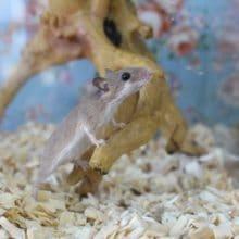 極小ネズミ!アフリカチビネズミ!