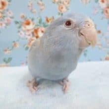 マメルリハ コバルトバイオレットファロー男の子 2019年12月生まれ