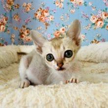 世界最小の猫ちゃん、シンガプーラが入舎しましたよ!