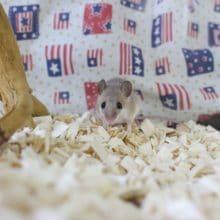 ちっちゃすぎなネズミさん!アフリカチビネズミ!