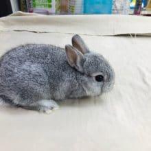 人気のミニウサギ 入舎しております。