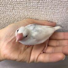 ちょっと育った白文鳥もいます!