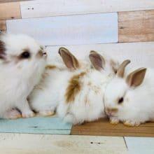 兄弟ミニウサギ入舎!|チンチラ初心者さんの飼育応援!