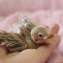 8月下旬生まれ シナモン文鳥さんやって来ました!