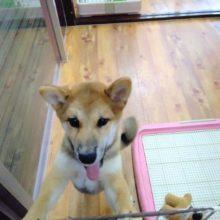人気の日本犬!柴犬 男の子♪