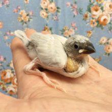 シルバー文鳥 2020年8月生まれ