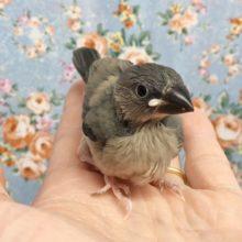 桜文鳥 2020年8月生まれ
