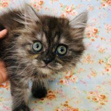 ブリティッシュ×チンチラ ミックス猫ちゃんいます!