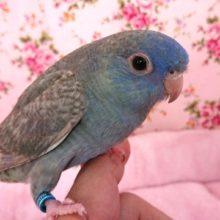 青みがキレイです☆サザナミインコ(ブルー系)~~