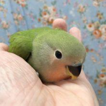 小桜インコ(ノーマル) 2020年8月生まれ