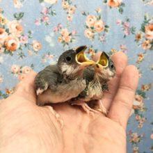 桜文鳥(雛) 2020年10月生まれ