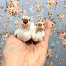 白文鳥(雛) 2020年10月生まれ