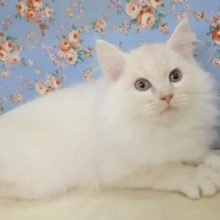 最新画像!ピンクのお鼻❤️ミヌエット 男の子 2020年08月30日生