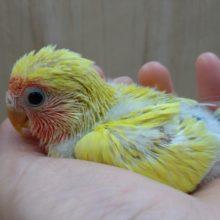 体は黄色けど黒目だよ!小桜インコゴールデンチェリー来ました