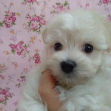 ふわもこ!MIX犬(マルプー) 女の子♪