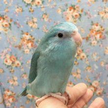 マメルリハ(ブルー)女の子 2020年11月生まれ