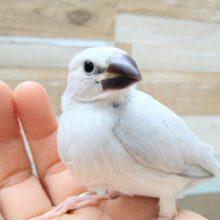 まるで宝塚に出てきそうな美形シルバー文鳥いますよ!
