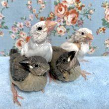 白文鳥・桜文鳥  入舎してます!  3月2日