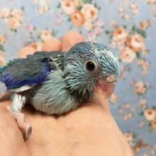 マメルリハ(ブルー)男の子 2021年2月生まれ