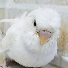羽衣セキセキインコ